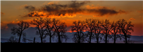 Cotton Wood Trees in Northeastern Colorado at Sunset